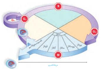 چرخه تقسیم سلولی   چرخه سلولی   چرخه یاخته ای   اینترفاز